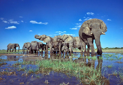Gentle giants - Elephants drinking, Etosha, Namibia - elephants002