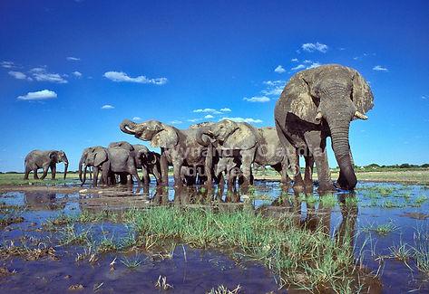 Gentle giants - Elephants drinking, Etosha, Namibia - elephants002