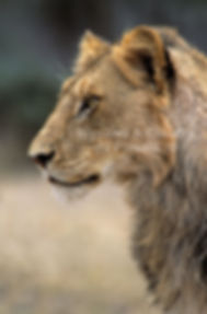 Young male lion in Kruger National Park: lion030