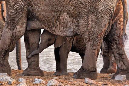 Elephant baby with herd, Etosha - elephants168