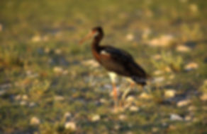 Abdim Stork feeding, Etosha, Namibia - birds012