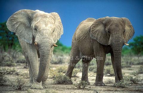 Elephant bulls, Etosha - elephants034