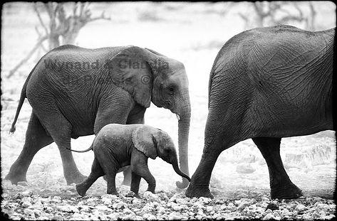 Elephant baby with herd, Etosha, Namibia _ Black-White020