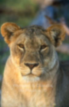 Portrait of lioness in Etosha: lion051