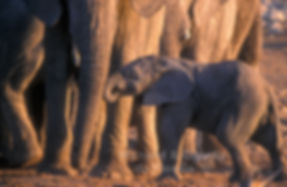 Elephant baby with mother, Etosha - elephants032