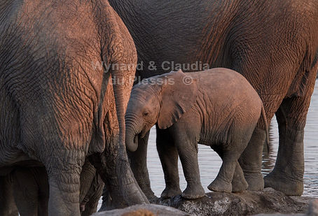 Baby elephant with herd, Etosha, Namibia: elephants131