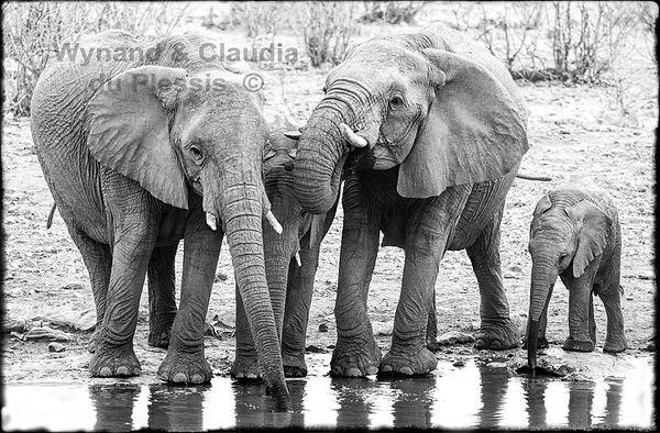 Elephants drinking, Etosha, Namibia _ Black-White065