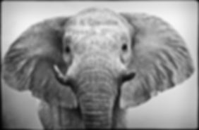 Flapping ears of an elephant cow, Etosha, Namibia _ Black-White027