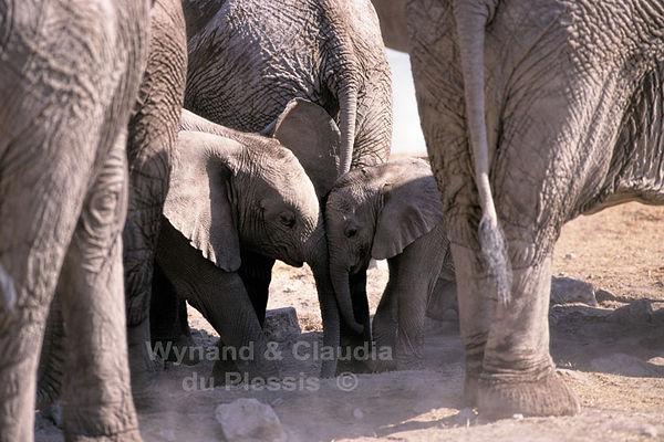 Elephant babies, Etosha, Namibia: elephants146