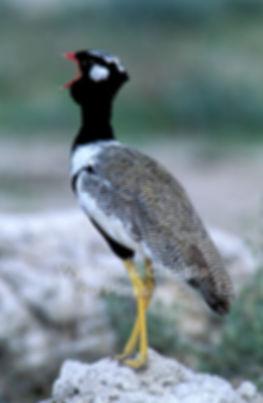 Black Korhaan calling, Etosha, Namibia - birds005