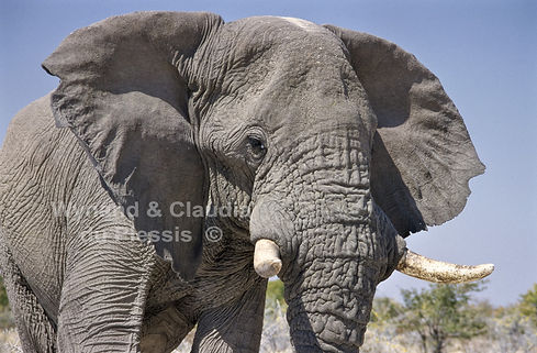 Very old elephant bull, Etosha, Namibia - elephants081