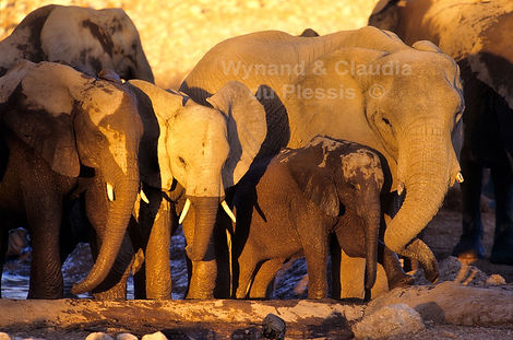 Elephant at Olifantsbad waterhole in last light, Etosha, Namibia - elephants056