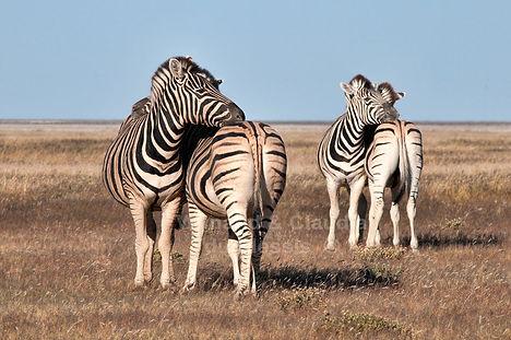 Zebra resting, Etosha, Namibia - wildlife036