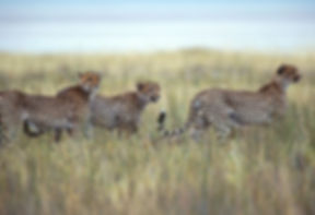 Cheetah hunting, Etosha, Namibia - wildlife020