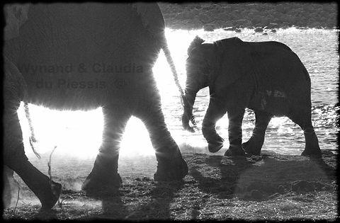 Elephant young at waterhole, Etosha, Namibia _ Black-White008