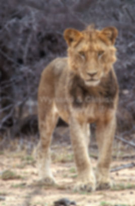 Young male lion in Kruger National Park: lion029