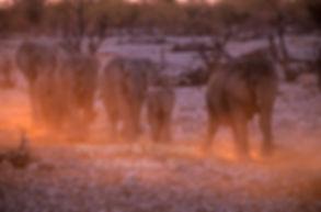 Elephant herd marching to a waterhole, Etosha - elephants037