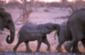 Elephants in single file, Etosha, Namibia - elephants059