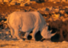 Black rhino drinking at night, Etosha, Namibia - wildlife031