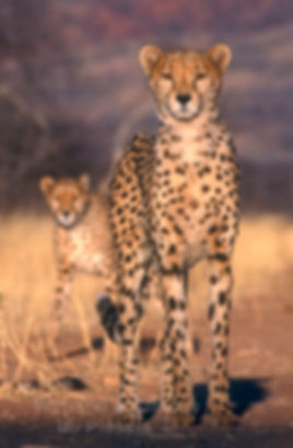Cheetah at Okonjima Nature Reserve, Namibia: wildlife055