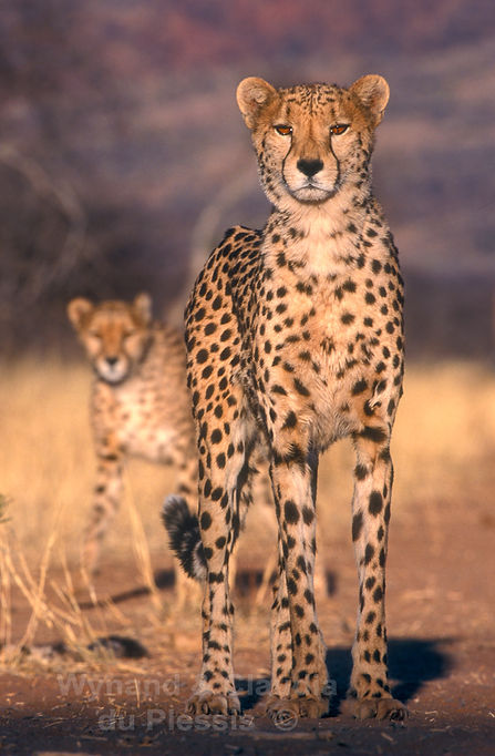 Cheetah hunting pair on the farmlands of Namibia - wildlife055