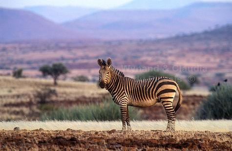 Hartmann's zebra, Damaraland, Namibia - wildlife013