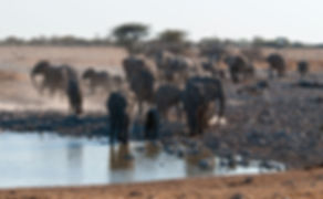Elephant herd gathers at Okaukuejo waterhole, Etosha, Namibia - elephants040