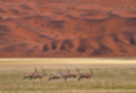 Oryx antelopes in the Namib Desert: landscape059