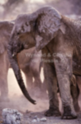 Elephants dust bathing, Etosha, Namibia: elephants138