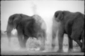 Elephant bulls dust bathing, Etosha, Namibia _ Black-White013