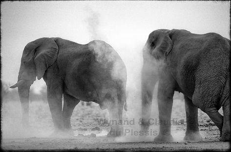 Elephant bulls dust bathing, Etosha, Namibia _ Black-White013