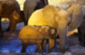 Elephant at waterhole in last light, Etosha, Namibia - elephants057