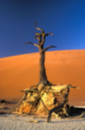 Dry Acacia at Deadvlei: landscape021
