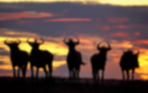Blue wildebeest at sunset, Etosha, Namibia - wildlife017