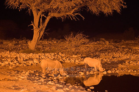 Black rhino drinking at Okaukuejo waterhole, Etosha - wildlife033