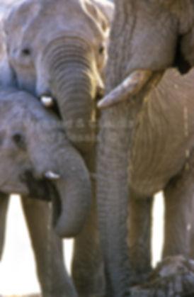 Elephants drinking, Etosha, Namibia - elephants073