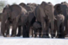 Elephant herd blocking the road, Etosha - elephants039