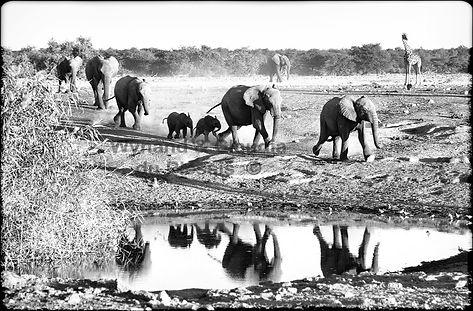 Elephants gather at a waterhole, Etosha, Namibia _ Black-White026