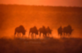 Blue wildebeest at sunset, Etosha, Namibia - wildlife018