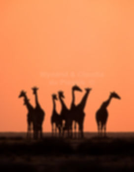 Giraffe herd at sunset on the Etosha plains: wildlife061