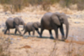 Elephants walking in single file, Etosha, Namibia: elephants130