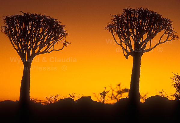 Quiver trees at sunset: landscape017