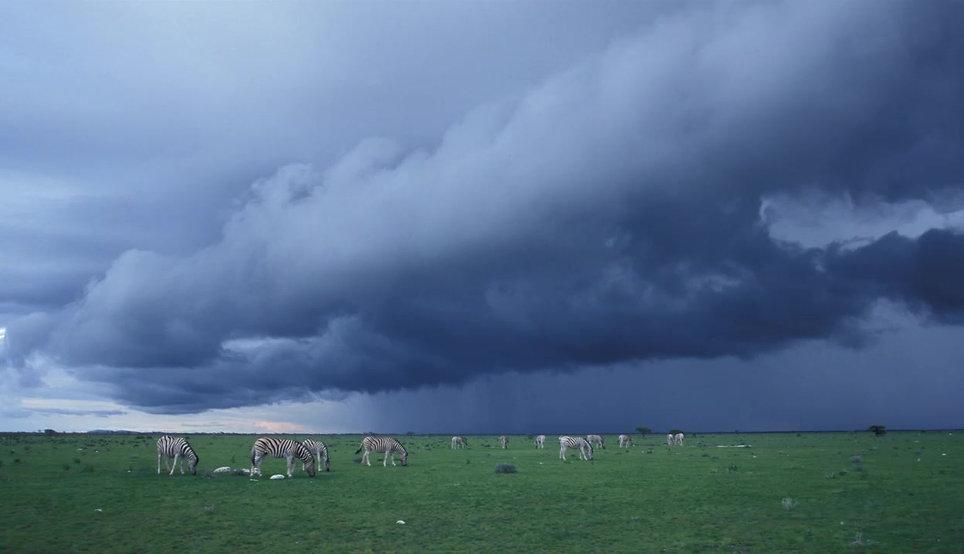 Zebras grazing photo animation