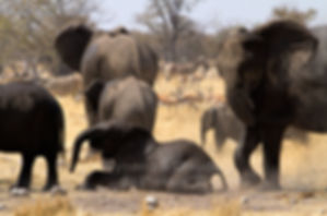 Elephants rolling in the dust, Etosha, Namibia - elephants055