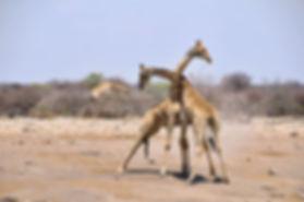 Giraffe bulls fighting, Etosha, Namibia - wildlife012