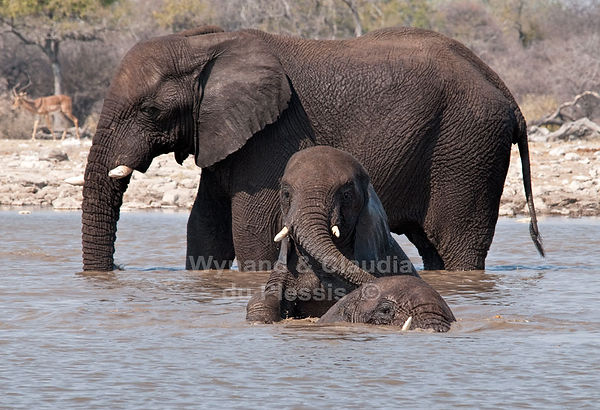 Elephants bathing and playing, Etosha, Namibia: elephants125