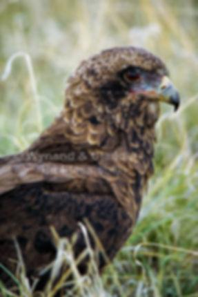 Brown Snake Eagle, Etosha, Namibia - birds019