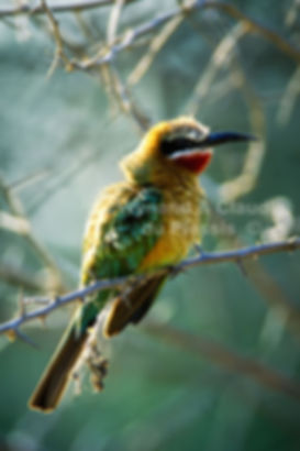 Whitefronted Bee-eater, Caprivi, Namibia - birds047