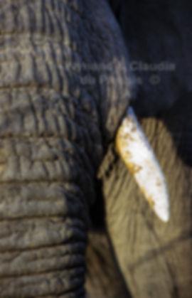 Elephant tusk, Etosha, Namibia - elephants072