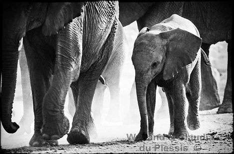 Elephant baby with herd, Etosha, Namibia _ Black-White028